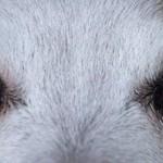 犬の白内障の見分け方!初期の場合はどんな症状が出る?