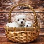 人気の犬種ランキング!日本人が好きな人気ベスト10は?