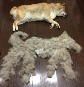柴犬の室内飼い!抜け毛対策にオススメなのは?