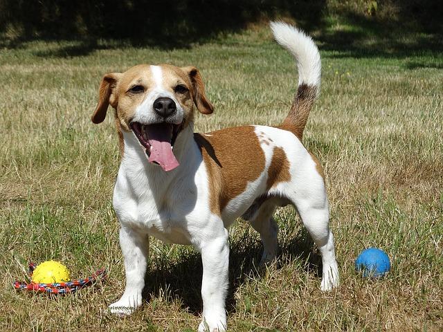 happy-dog-1383557_640