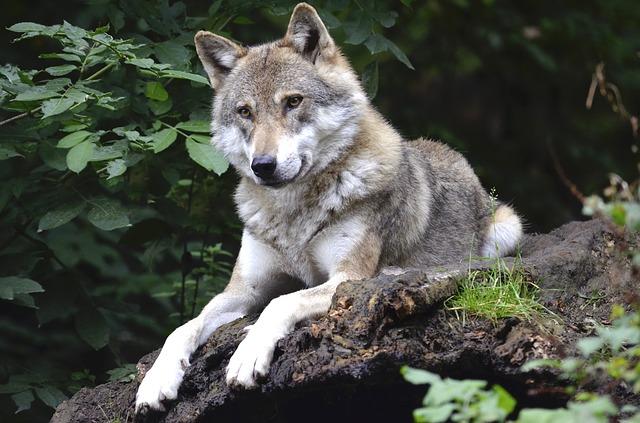 wolf-1336229_640