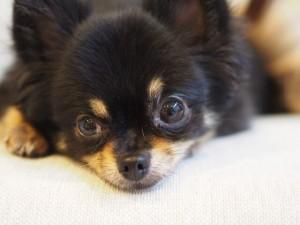 犬のいびきはチワワが特にうるさいってホント?その原因とは?