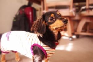犬のオムツとカバーを手作りしよう!簡単に作れる方法とは?