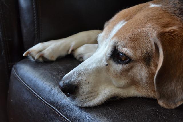 beagle-995637_640