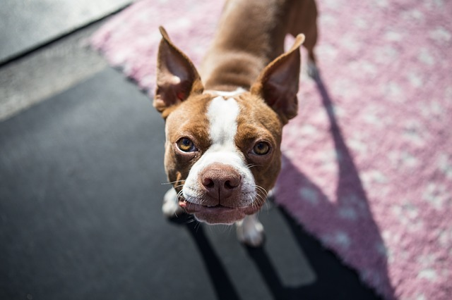 boston-terrier-pup-1752894_640