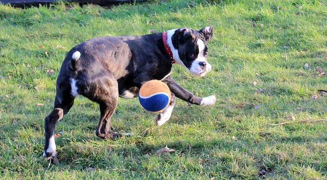boxer-1185121_640