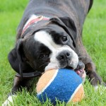 犬がトイレシートを食べる!やめさせる方法と3つの対策