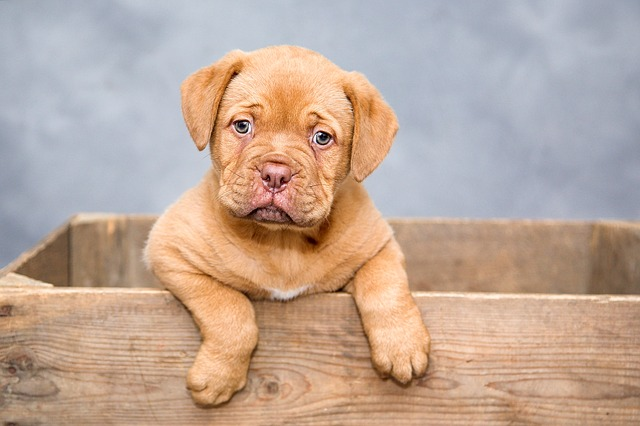 dogue-de-bordeaux-1047521_640-1