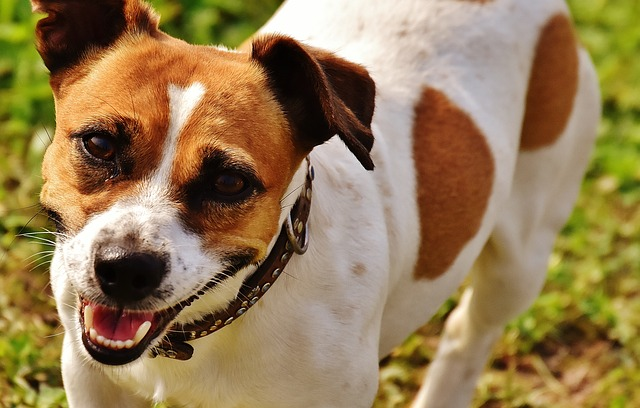 jack-russell-1703810_640