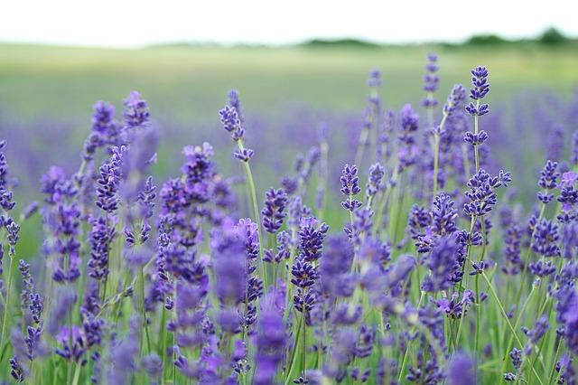 lavender-field-1031258_640