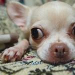 犬の目に膜が!正常・異常の見分け方と考えられる病気とは?