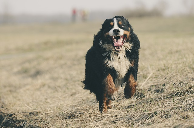 bernese-mountain-dog-1935025_640