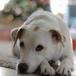 犬の老化防止!アンチエイジングのための10の秘策を紹介!