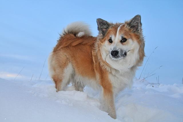 iceland-dog-1957821_640