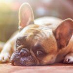 犬のアレルギーは克服できる?主な症状と家庭でできる改善策