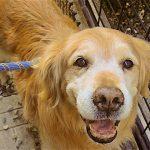 犬の甲状腺機能低下症とは?おすすめの食事を紹介