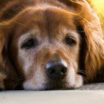 犬のクッシング症候群の末期症状!余命・治療しないとどうなる?