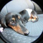 犬は車の乗せ方次第で違反になる?正しいドライブの方法を紹介