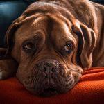 犬の白内障!手術の費用はどれくらい必要?