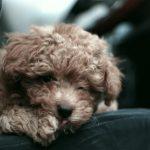 トイプードルのご飯の量や回数!子犬から成犬までの適切な与え方とは?