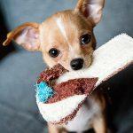 チワワの餌の量や回数はどのくらい?子犬・成犬の適切な与え方とは?