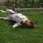 犬が皮膚病で黒い斑点ができる!疑うべき病気はコレ!