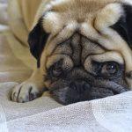 犬の皮膚病が臭い!考えられる3つの病気とは?