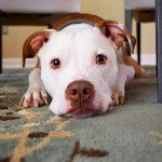 犬がトイレをできなくなったのはなぜ?粗相の10の原因を解説!