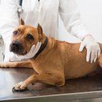 犬の歯周病の手術は?麻酔ありORなしのメリットや3つの注意点!