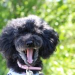 犬の歯周病はどう改善する?実際に効果があった10個の対処法を紹介